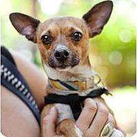 Adopt A Pet :: Brad the sweet lap dog! - Sherman Oaks, CA