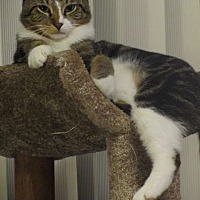 Domestic Shorthair Cat for adoption in Lincolnwood, Illinois - Toby