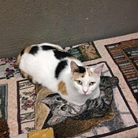 Calico Cat for adoption in Fresno, California - Madleine
