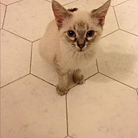 Siamese Kitten for adoption in Sunny Isles Beach, Florida - Lyle