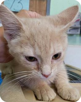 Domestic Shorthair Kitten for adoption in Bedford, Indiana - Buffalo