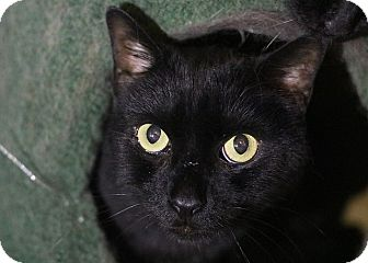 Domestic Shorthair Cat for adoption in Columbia, Maryland - Moses