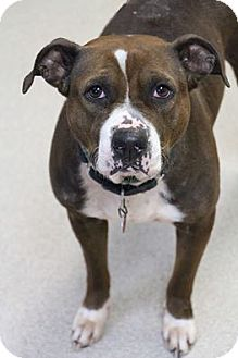 American Staffordshire Terrier Mix Dog for adoption in Manitowoc, Wisconsin - Jordan