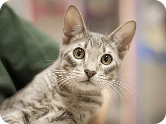 Domestic Shorthair Kitten for adoption in Dallas, Texas - Joey