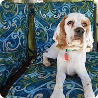 Adopt A Pet :: Charro -Adopted! - Kannapolis, NC