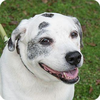 Australian Cattle Dog Mix Dog for adoption in Houston, Texas - Bella