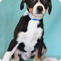 Adopt A Pet :: Sting - Waldorf, MD