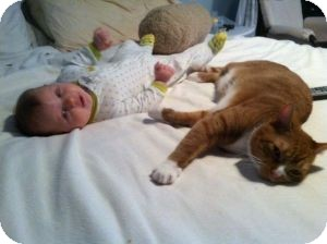 Domestic Shorthair Cat for adoption in bloomfield, New Jersey - Tigger & Misty (URGENT 2 Beaut