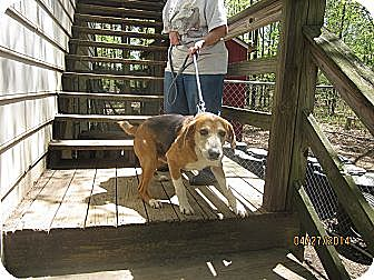 Treeing Walker Coonhound/Hound (Unknown Type) Mix Dog for adoption in Chesterfield, Virginia - Max