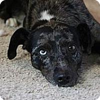 Adopt A Pet :: Radley - Sacramento, CA