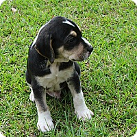 Adopt A Pet :: Baby Mason - Marlton, NJ