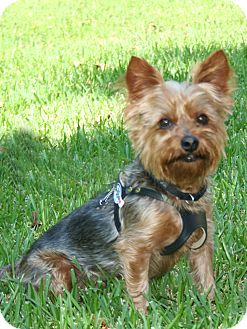 Yorkie, Yorkshire Terrier Dog for adoption in Statewide and National, Texas - Mocha