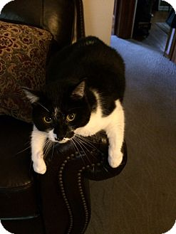 Domestic Shorthair Cat for adoption in Akron, Ohio - Smudge-Adopted!