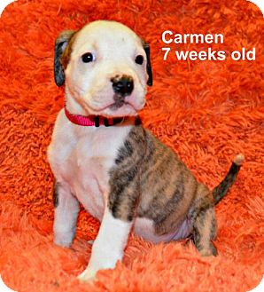 Pit Bull Terrier/Hound (Unknown Type) Mix Puppy for adoption in Yreka, California - Carmen