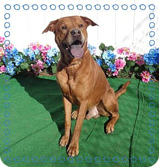 Shepherd (Unknown Type)/Boxer Mix Dog for adoption in Marietta, Georgia - RUSTY