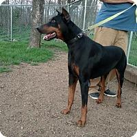 Adopt A Pet :: Henry - Buffalo, MN
