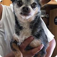 Adopt A Pet :: MAX - San Pablo, CA