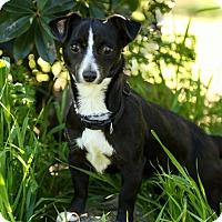 Adopt A Pet :: Cece - Auburn, CA