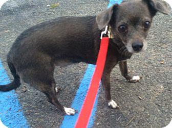 Chihuahua/Italian Greyhound Mix Dog for adoption in Oak Ridge, New Jersey - Fifi