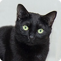 Domestic Shorthair Cat for adoption in Vancouver, British Columbia - Dezzy