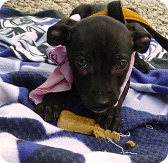 Labrador Retriever/Border Collie Mix Puppy for adoption in Sacramento, California - Samantha sweety