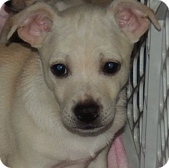 Beagle/Jack Russell Terrier Mix Puppy for adoption in La Habra Heights, California - Percy