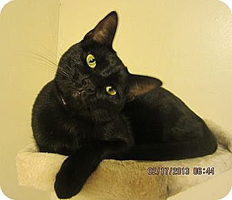 Domestic Shorthair Cat for adoption in Long Beach, California - Leelu