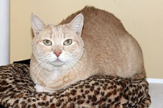Domestic Shorthair Cat for adoption in Harrison, New York - Thomas
