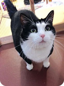 Domestic Shorthair Cat for adoption in Rochester, New York - Baby