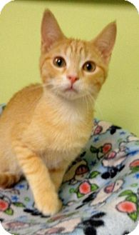 Domestic Mediumhair Kitten for adoption in Tunica, Mississippi - Tom Cat