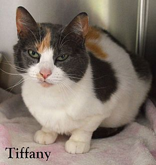 Domestic Shorthair Cat for adoption in Fryeburg, Maine - Tiffany