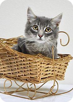 Domestic Mediumhair Kitten for adoption in Dublin, California - Frosty McJingles