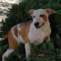 Adopt A Pet :: Beast - Hayden, AL