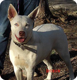 Husky/Kishu Mix Dog for adoption in West Sand Lake, New York - Diamond(60 lb) New Pics/Video