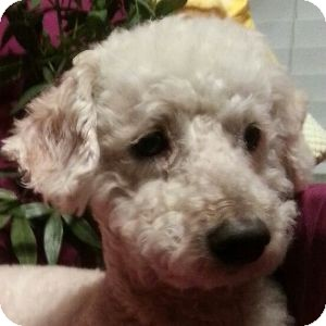 Bichon Frise Mix Dog for adoption in La Costa, California - Timothy