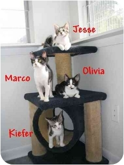 Domestic Shorthair Cat for adoption in AUSTIN, Texas - OLIVIA