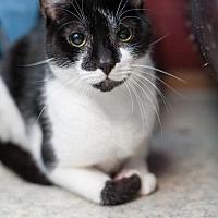 Domestic Shorthair Cat for adoption in Stafford, Virginia - Kingston