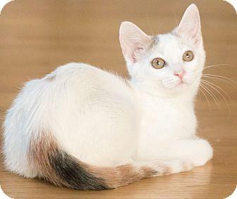 Calico Cat for adoption in Chicago, Illinois - Dottie