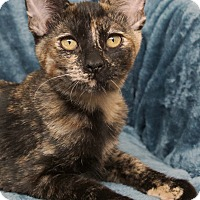 Domestic Shorthair Cat for adoption in St Louis, Missouri - Tippi