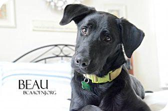 Labrador Retriever Mix Dog for adoption in Willingboro, New Jersey - Beau