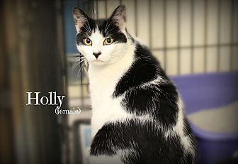 Domestic Shorthair Cat for adoption in Glen Mills, Pennsylvania - Holly