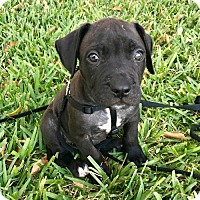 Adopt A Pet :: Ghirardelli - Fort Lauderdale, FL