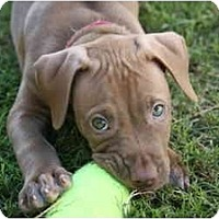 Adopt A Pet :: Bridgett - DFW, TX