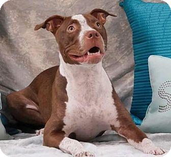 American Staffordshire Terrier Puppy for adoption in San Diego, California - Duchess