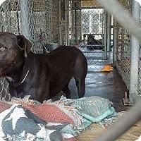 Adopt A Pet :: Piper - Livingston Parish, LA