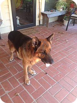 German Shepherd Dog Mix Dog for adoption in Houston, Texas - Chagall