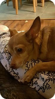 Chihuahua Mix Dog for adoption in Portsmouth, New Hampshire - CHAMP