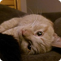 Adopt A Pet :: Tangerine - St. Louis, MO