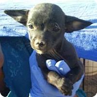 Adopt A Pet :: Huera's Gabriela - Las Vegas, NV