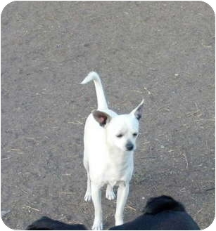Chihuahua Puppy for adoption in Poway, California - Chance